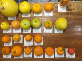 柑橘22種類
