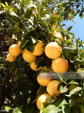 木になるグレープフルーツ